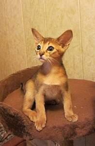 856 X 1310 218.2 Kb 914 X 1422 252.7 Kb Веточка для Коржиков.и абиссинских кошек у нас есть щенки и котята