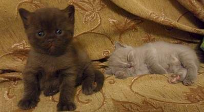 1920 X 1051 406.6 Kb 1920 X 1197 485.4 Kb 1920 X 1265 414.7 Kb Питомник британских кошек Cherry Berry's. У нас родились котята!