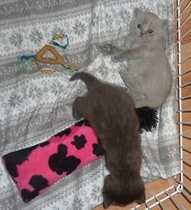 1920 X 2110 770.3 Kb Питомник британских кошек Cherry Berry's. У нас родились котята!