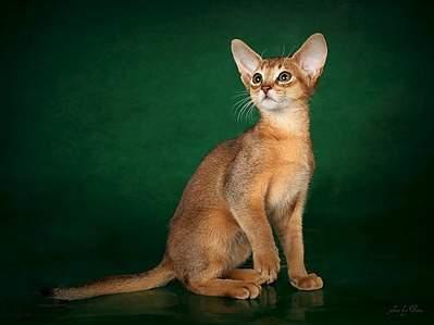 1091 X 818 110.0 Kb Веточка для Коржиков.и абиссинских кошек у нас есть щенки и котята