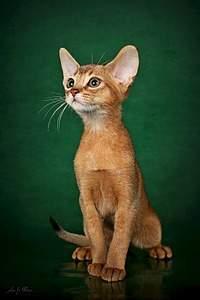 544 X 816 63.6 Kb 1091 X 818 110.0 Kb Веточка для Коржиков.и абиссинских кошек у нас есть щенки и котята