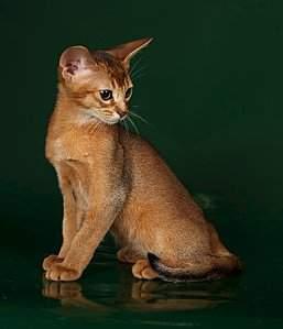 550 X 640 42.2 Kb 480 X 640 30.4 Kb 544 X 816 63.6 Kb 1091 X 818 110.0 Kb Веточка для Коржиков.и абиссинских кошек у нас есть щенки и котята