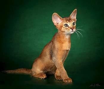 954 X 818 96.3 Kb Веточка для Коржиков.и абиссинских кошек у нас есть щенки и котята