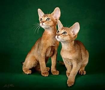 954 X 817 114.6 Kb 954 X 818 96.3 Kb Веточка для Коржиков.и абиссинских кошек у нас есть щенки и котята