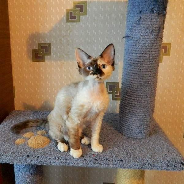 1920 X 1919 881.1 Kb Девон рекс - эльфы в мире кошек - у нас есть котята