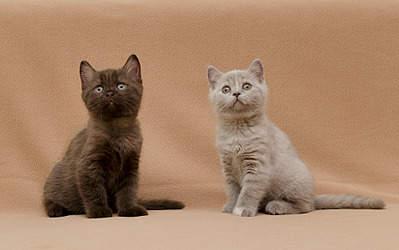 1920 X 1204 698.2 Kb Питомник британских кошек Cherry Berry's. У нас родились котята!