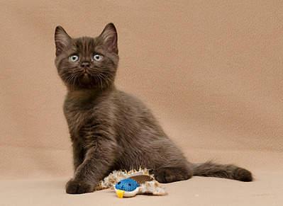 1920 X 1397 646.7 Kb 1920 X 1204 698.2 Kb Питомник британских кошек Cherry Berry's. У нас родились котята!