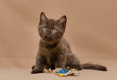 1920 X 1325 621.5 Kb 1920 X 1397 646.7 Kb 1920 X 1204 698.2 Kb Питомник британских кошек Cherry Berry's. У нас родились котята!