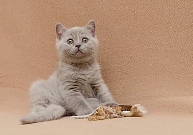 1920 X 1338 778.7 Kb 1920 X 1262 595.3 Kb 1920 X 1325 621.5 Kb 1920 X 1397 646.7 Kb 1920 X 1204 698.2 Kb Питомник британских кошек Cherry Berry's. У нас родились котята!