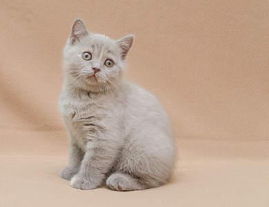 1920 X 1474 512.1 Kb Питомник британских кошек Cherry Berry's. У нас родились котята!