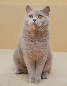 1553 X 2000 198.5 Kb Питомник британских кошек Cherry Berry's. У нас родились котята!