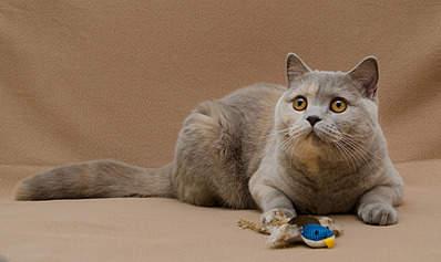1920 X 1141 584.6 Kb 1553 X 2000 198.5 Kb Питомник британских кошек Cherry Berry's. У нас родились котята!