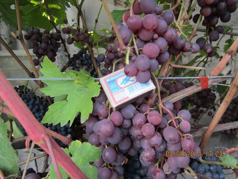 800 x 600 800 x 600 Саженцы винограда. Продам.