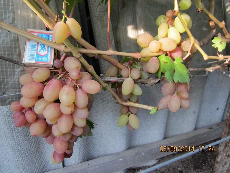 800 x 600 800 x 600 800 x 600 Саженцы винограда. Продам.