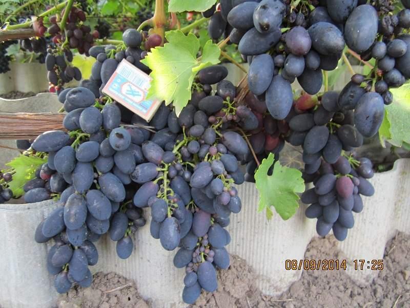 800 x 600 Саженцы винограда. Продам.