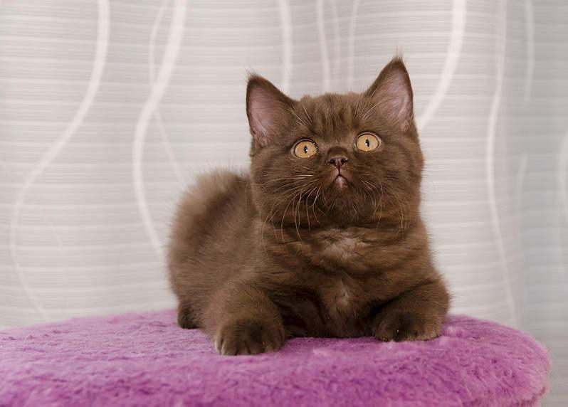 можете котенок британец фото шоколадный укладываются