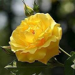 369 X 369 38.4 Kb Саженцы английских роз (ЗКС), флоксов, хризантем, дельфиниумов и др. многолетников .