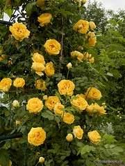 718 X 957 634.1 Kb 369 X 369 38.4 Kb Саженцы английских роз (ЗКС), флоксов, хризантем, дельфиниумов и др. многолетников .