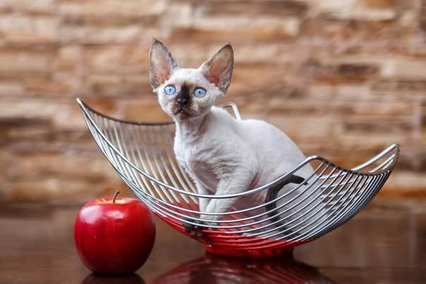 604 x 403 Девон рекс - эльфы в мире кошек - у нас есть котята