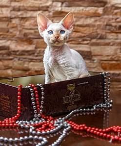 501 X 604 68.4 Kb Девон рекс - эльфы в мире кошек - у нас есть котята
