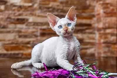 604 X 403 52.3 Kb 501 X 604 68.4 Kb Девон рекс - эльфы в мире кошек - у нас есть котята