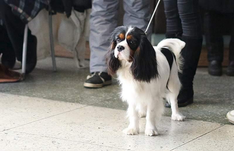 1666 X 1078 371.0 Kb Кавалер-кинг-чарльз-спаниель. Собака, создающая комфорт. Питомник Auroconcurr.