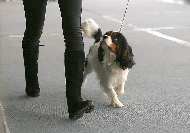 1666 X 1169 587.9 Kb 1666 X 1078 371.0 Kb Кавалер-кинг-чарльз-спаниель. Собака, создающая комфорт. Питомник Auroconcurr.