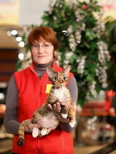 452 X 599 168.5 Kb 799 X 490 252.8 Kb Девон рекс - эльфы в мире кошек - у нас есть котята