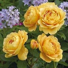 395 X 395 32.9 Kb 336 X 305 71.5 Kb Саженцы английских роз (ЗКС), флоксов, хризантем, дельфиниумов, стол.винограда и др.