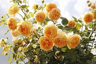 500 X 333 101.3 Kb 395 X 395 32.9 Kb 336 X 305 71.5 Kb Саженцы английских роз (ЗКС), флоксов, хризантем, дельфиниумов, стол.винограда и др.