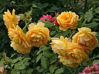 800 X 600 108.2 Kb 453 X 604 53.0 Kb 500 X 333 101.3 Kb 395 X 395 32.9 Kb 336 X 305 71.5 Kb Саженцы английских роз (ЗКС), флоксов, хризантем, дельфиниумов, стол.винограда и др.