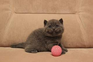 519 X 346 63.6 Kb 519 X 346 70.9 Kb Британцы Ричард - Чемпион Мира WCF, Лекси и Бриана. У нас есть котята!
