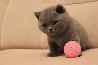 519 X 346 48.5 Kb 519 X 346 48.4 Kb 519 X 346 50.3 Kb 519 X 346 54.3 Kb Британцы Ричард - Чемпион Мира WCF, Лекси и Бриана. У нас есть котята!