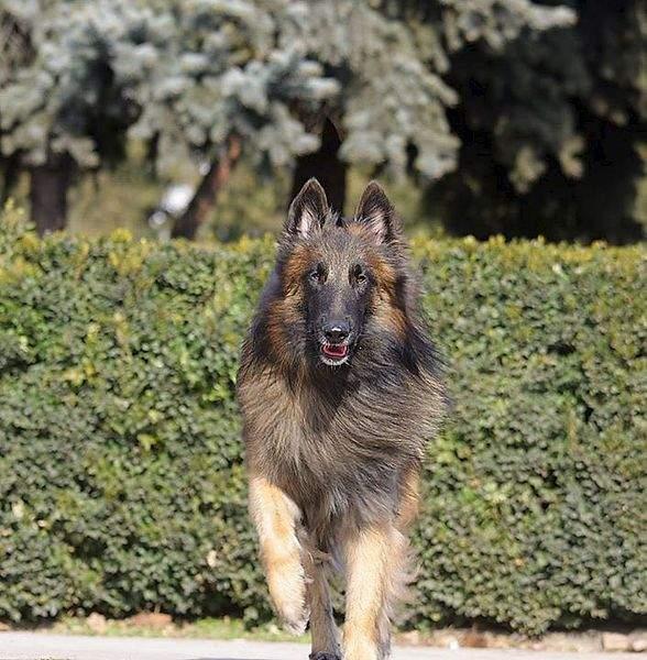 706 X 720  91.9 Kb Бельгийска Овчарка- воплощение силы и грации.У нас родились щенки БО ТЕРВЮРЕНА!