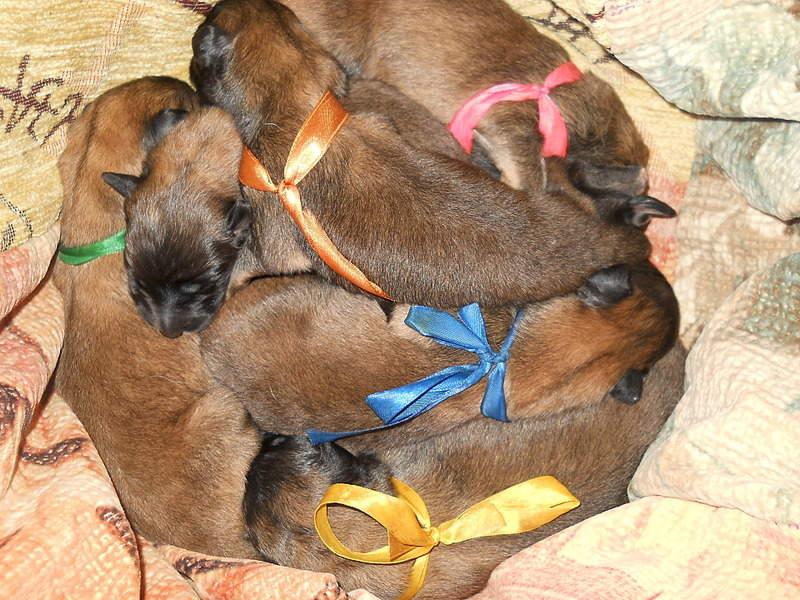 1920 X 1440 954.7 Kb Бельгийска Овчарка- воплощение силы и грации.У нас родились щенки БО ТЕРВЮРЕНА!