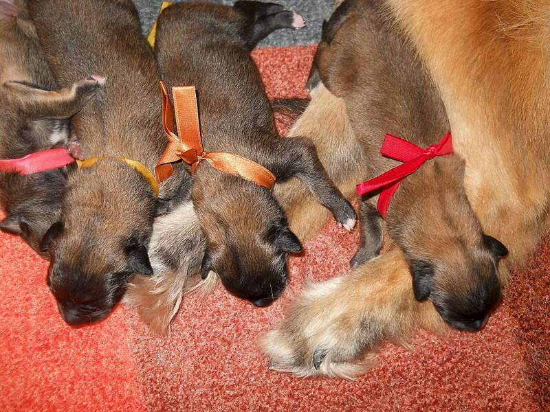 1920 X 1440 542.6 Kb Бельгийска Овчарка- воплощение силы и грации.У нас родились щенки БО ТЕРВЮРЕНА!