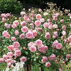 660 X 660 488.0 Kb Саженцы английских роз (ЗКС), флоксов, хризантем, дельфиниумов, стол.винограда и др.