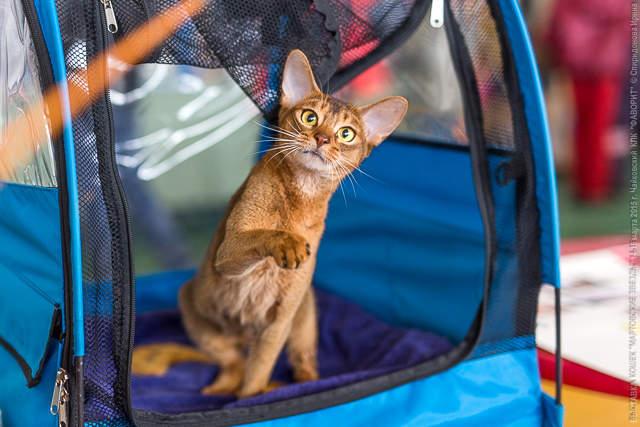 640 x 427 Веточка для Коржиков и абиссинских кошек