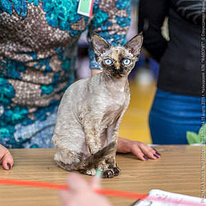 640 X 640 367.1 Kb Девон рекс - эльфы в мире кошек - у нас есть котята