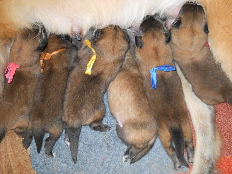 1920 X 1440 755.3 Kb Бельгийска Овчарка- воплощение силы и грации.У нас родились щенки БО ТЕРВЮРЕНА!