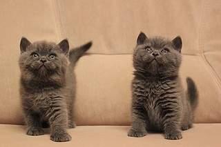 519 X 346 60.6 Kb 519 X 346 59.3 Kb Британские котята от Чемпиона Мира WCF. Новые фото 19.03.15г.