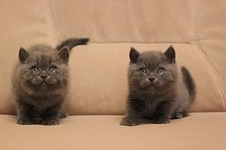 519 X 346 51.3 Kb 519 X 346 60.6 Kb 519 X 346 59.3 Kb Британские котята от Чемпиона Мира WCF. Новые фото 19.03.15г.