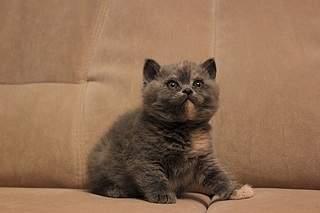 519 X 346 58.8 Kb Британские котята от Чемпиона Мира WCF. Новые фото 19.03.15г.