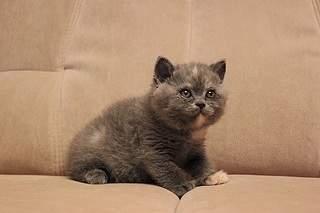 519 X 346 58.3 Kb 519 X 346 58.8 Kb Британские котята от Чемпиона Мира WCF. Новые фото 19.03.15г.