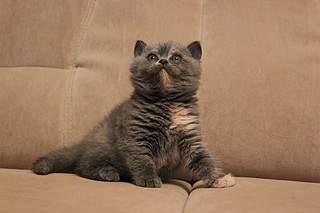 519 X 346 63.2 Kb 519 X 346 58.3 Kb 519 X 346 58.8 Kb Британские котята от Чемпиона Мира WCF. Новые фото 19.03.15г.