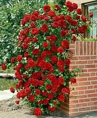 736 X 888 558.2 Kb Саженцы английских роз (ЗКС), флоксов, хризантем, дельфиниумов, стол.винограда и др.