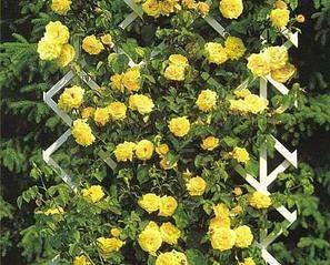 480 X 387 48.8 Kb 736 X 888 558.2 Kb Саженцы английских роз (ЗКС), флоксов, хризантем, дельфиниумов, стол.винограда и др.