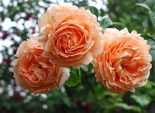 600 X 438 62.4 Kb 480 X 387 48.8 Kb 736 X 888 558.2 Kb Саженцы английских роз (ЗКС), флоксов, хризантем, дельфиниумов, стол.винограда и др.