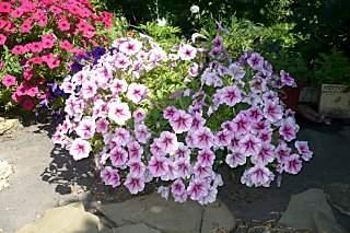 640 X 426 89.4 Kb цветы для вашего сада, кафе, придомовой территории. ВАКАНСИИ