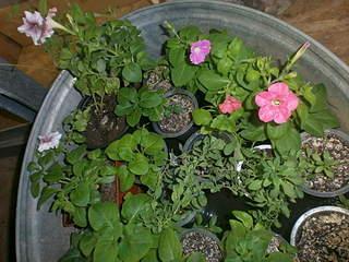 320 x 240 320 x 240 Цветы для вашего сада, кафе, придомовой территории. КУПИМ многолетники